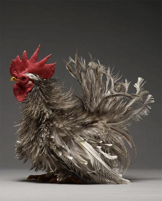 foto gallina libro chicken 4 - Un proyecto fotográfico recoge las imágenes más bellas de gallos y gallinas