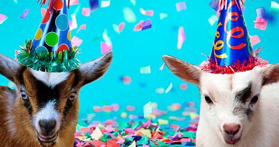 alquilar cabras para fiestas - Cabras enanas como animación