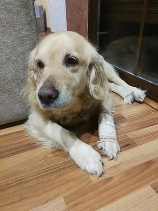 perra Cloe miedo a los petardos - Las duras imágenes que deja una perrita al entrar en pánico por unos petardos