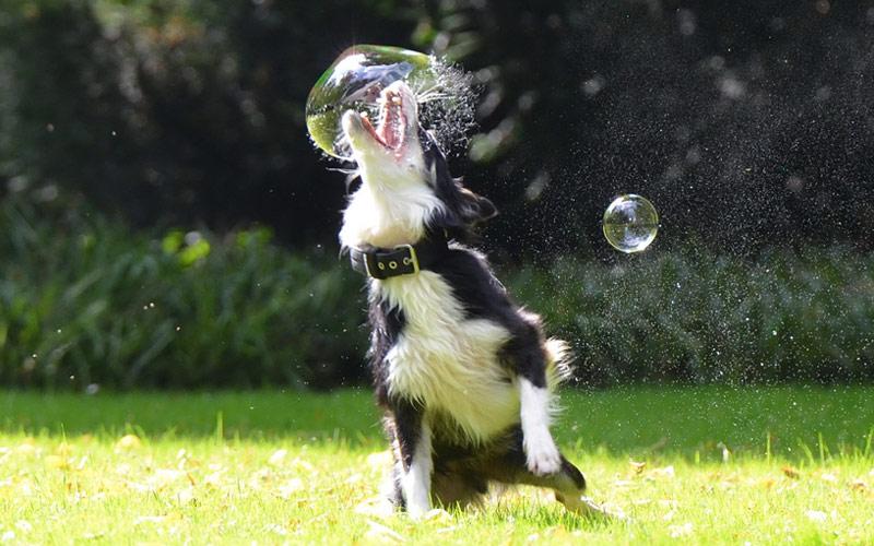 perros más inteligentes