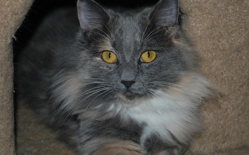 ¿Cuánto dura el celo en una gata?