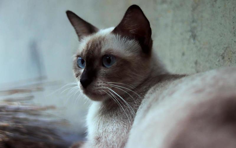 Cuidados del gato siamés