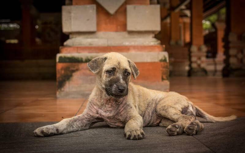 enfermedades de perros - Enfermedades de perros