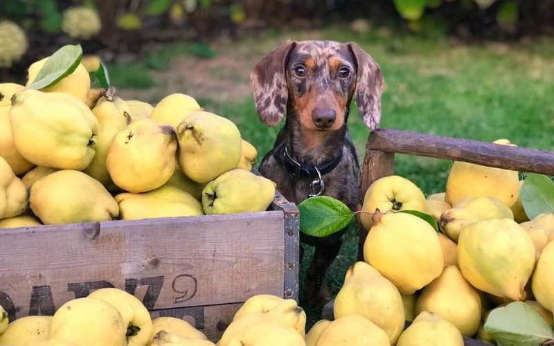 Qué frutas pueden comer los perros